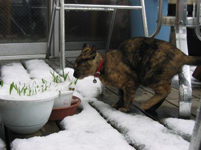 アイス猫草を食べる蘭