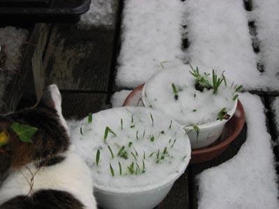 猫草も凍る