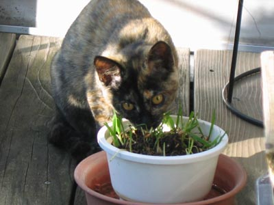 猫草食べる蘭