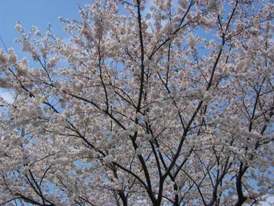 第一団地の桜
