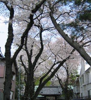 常徳院の桜