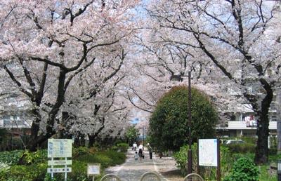 烏山川緑道の桜