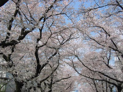 烏山川緑道の桜2