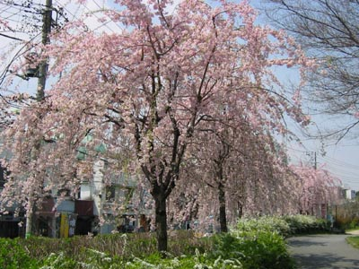 芦花公園の桜