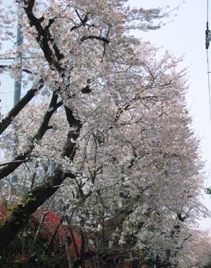 芦花高校の桜