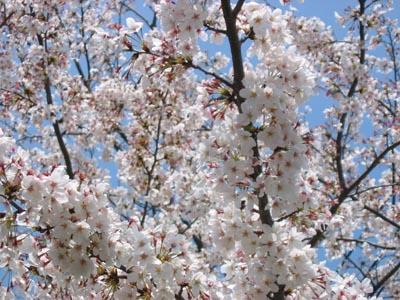 烏山第一団地の桜