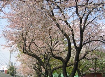 船橋の公園の桜