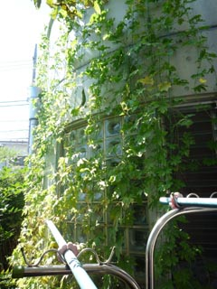 \ゴーヤの緑化9-28④