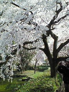 200803291440001京都御所の桜