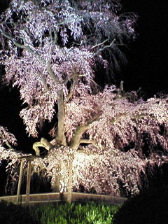 200803291902000円山公園の桜