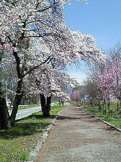 200804251302000ぺパンの前の桜