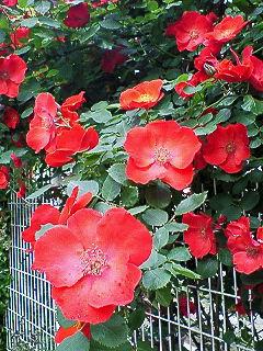 200805181444000赤のバラ