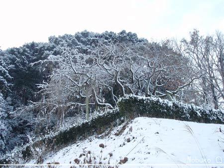 冬の枝垂桜