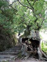 多宝塔登り口の木