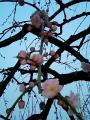 070207_庭梅の花
