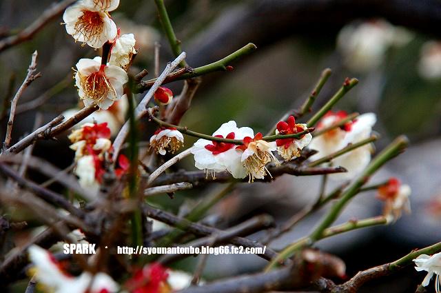 梅がチラホラ