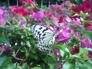 東南植物園の蝶