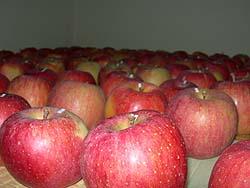 高野りんご「ふじ」
