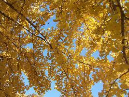 黄葉のシャワー