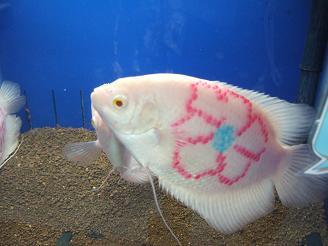 刺青熱帯魚