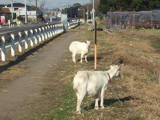 国道沿いのヤギ