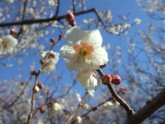 かわいい梅の花とつぼみ