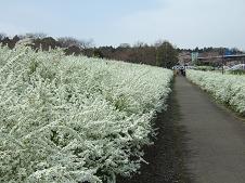 雪柳の遊歩道