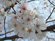 可愛い桜の花