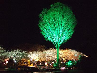 ライトアップされた桜とけや木