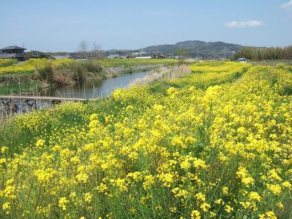 里川沿いの菜の花