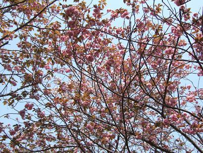 八重桜のシャワー