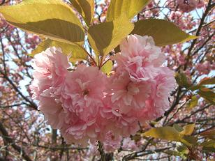 八重桜ちゃん
