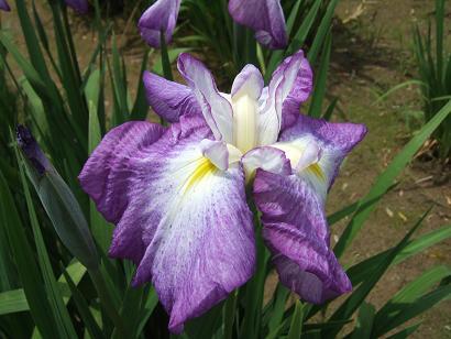 綺麗に開花した花菖蒲