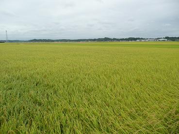 今年も米は豊作です!