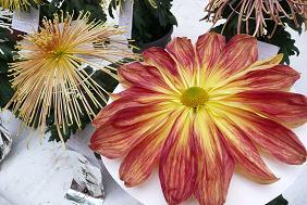 これも菊の花?
