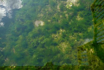 池の藻に隠れるイトヨ