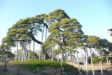 公園内の松の木