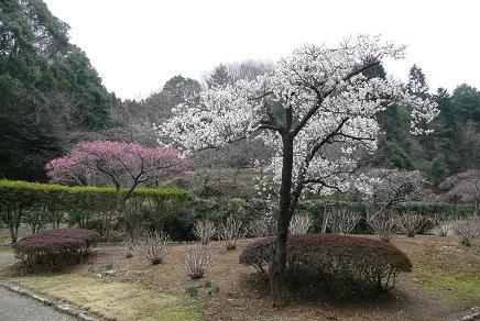 園内の梅の木