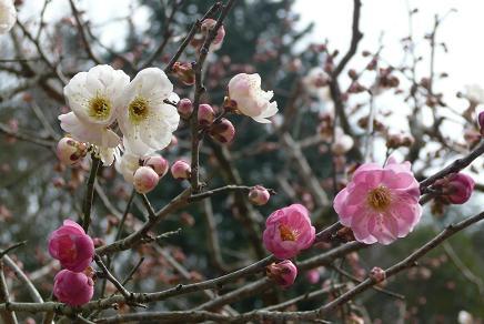 1本の梅の木に白とピンクの花が・