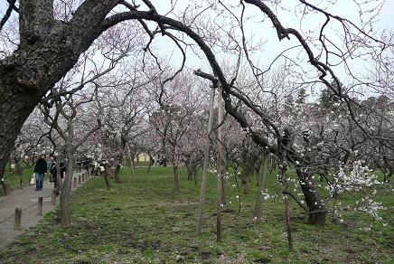 梅の花満開の園内