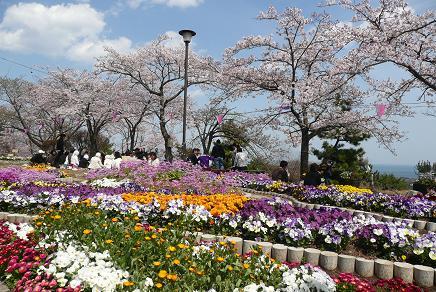 花壇の花と桜で、花見は盛り上がります!