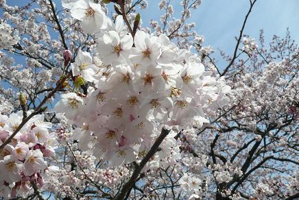 ほぼ満開の桜ちゃん!