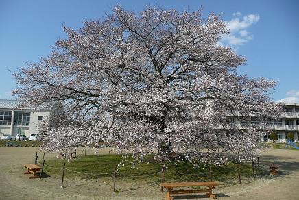 校庭中央の立派なさくらの木