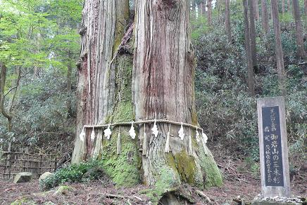 巨大な三本松の幹