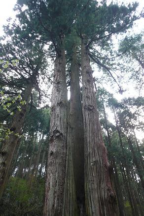 1つの幹から3本に分かてた巨大な松の木