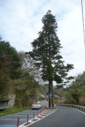 本山の1本杉