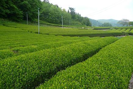 公園周辺の佐貫地区の茶畑