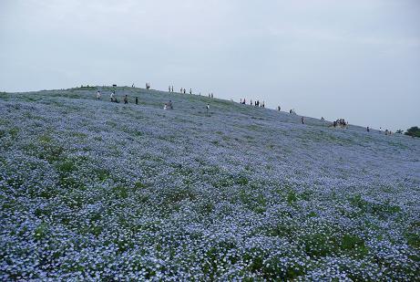 みはらしの丘の満開のネモフィラ