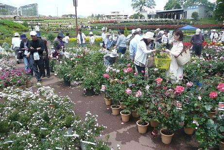バラ鉢植えの販売