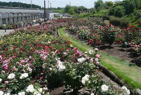 バラ品種園の豊富な品種のバラ